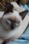 Продаются тайские котята от титулованных родителей