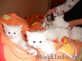 котята белые в хорошие руки